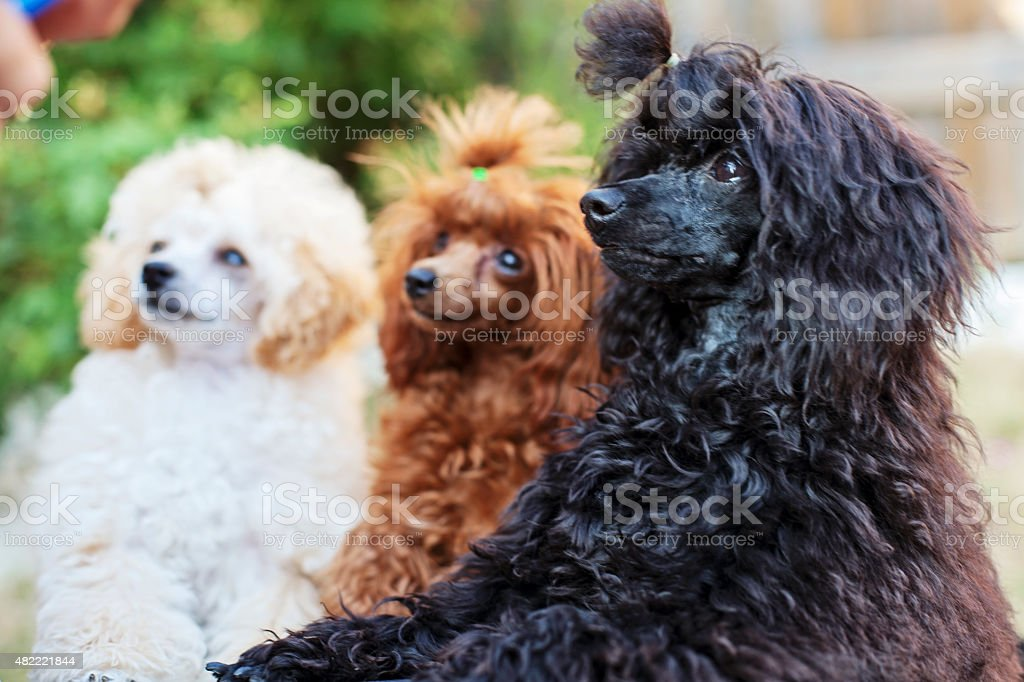 Three toy poodles stock photo
