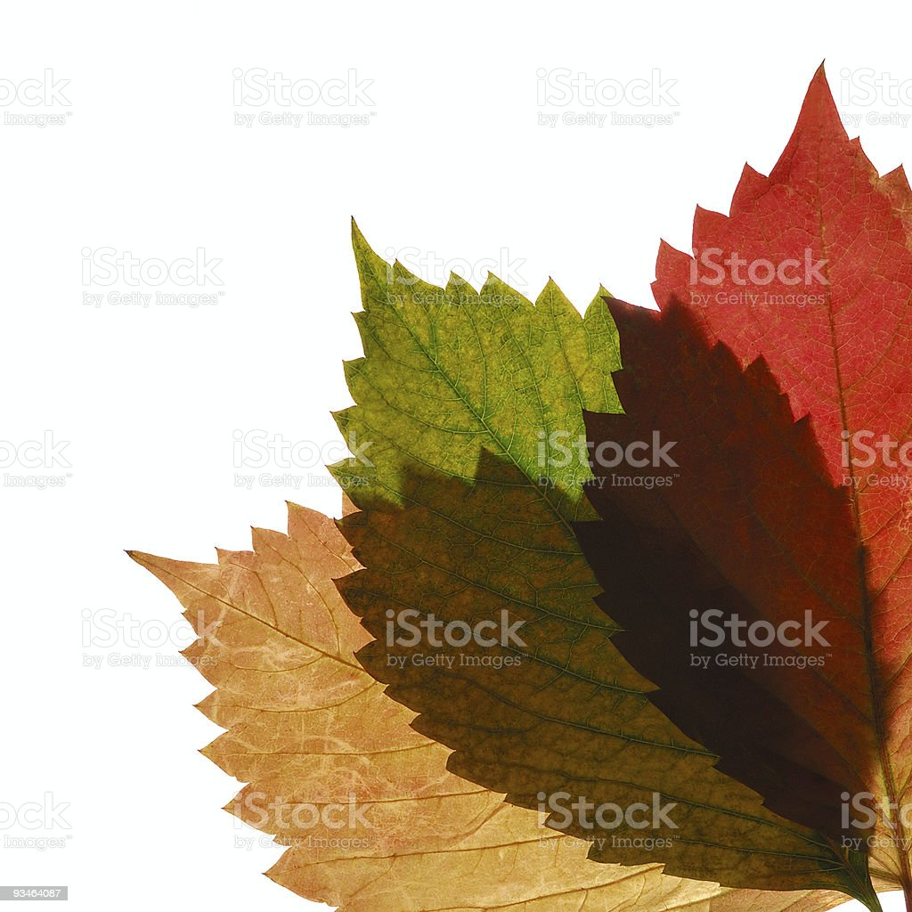 Three transparent autumn leaf royalty-free stock photo