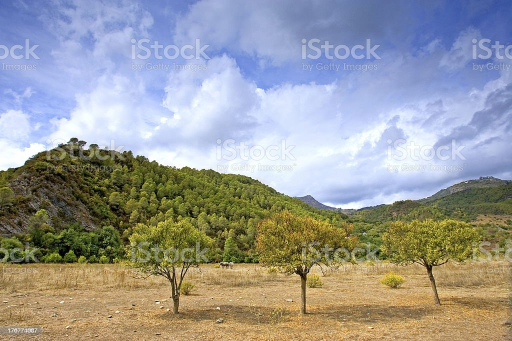 Three trees in a field in Andalucia in Spain royalty-free stock photo