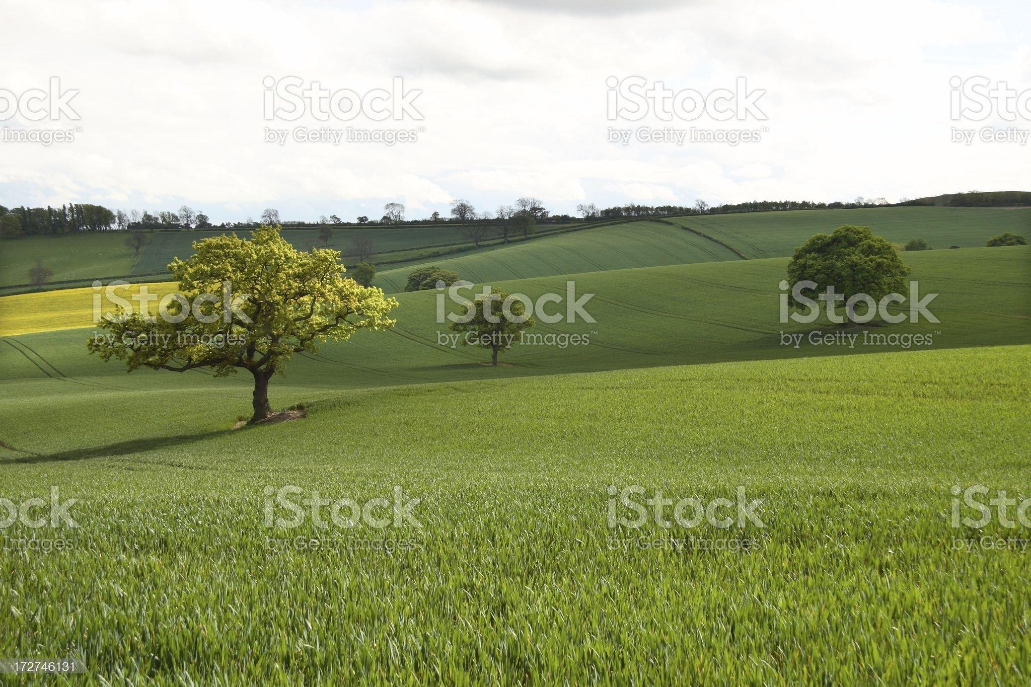 Three trees in rolling farmland royalty-free stock photo