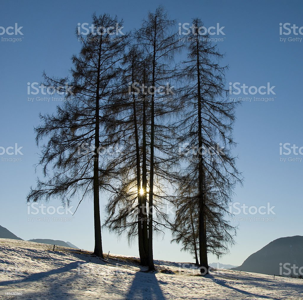 Three trees in the winter sun with shadow stock photo
