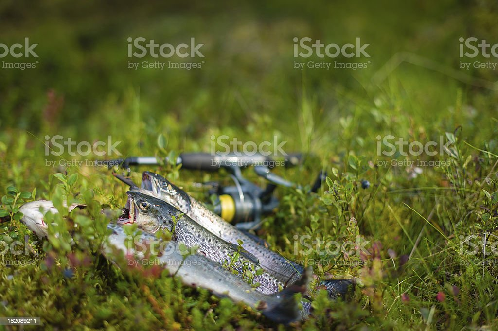 Three trout royalty-free stock photo