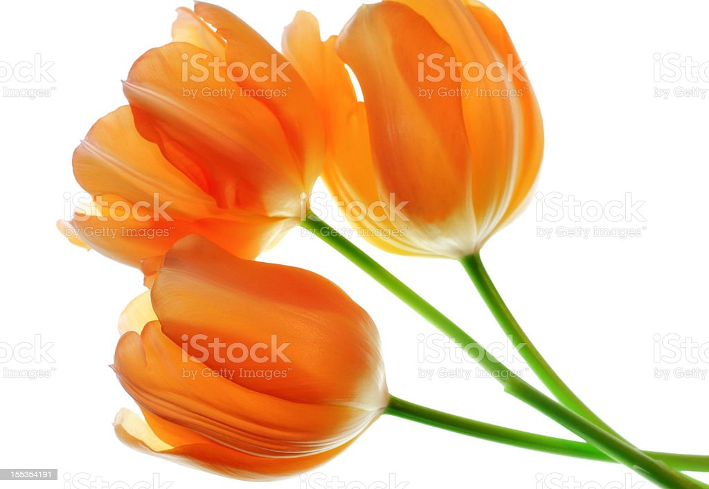 Three Tulip Flowers stock photo