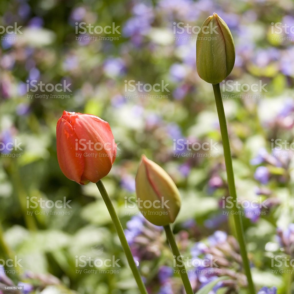 Three tulips royalty-free stock photo