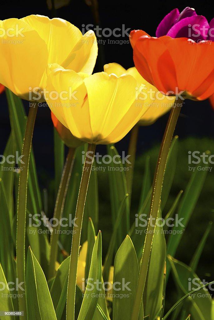 Three tulips royalty-free stock photo