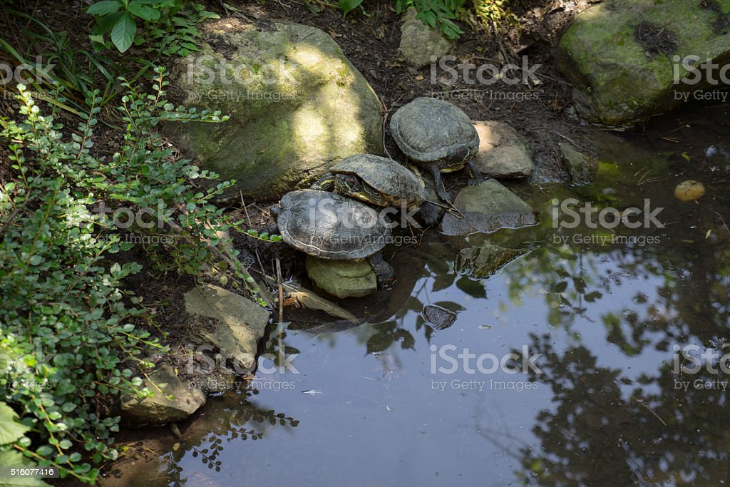 Three Turtles Basking by a Pond stock photo