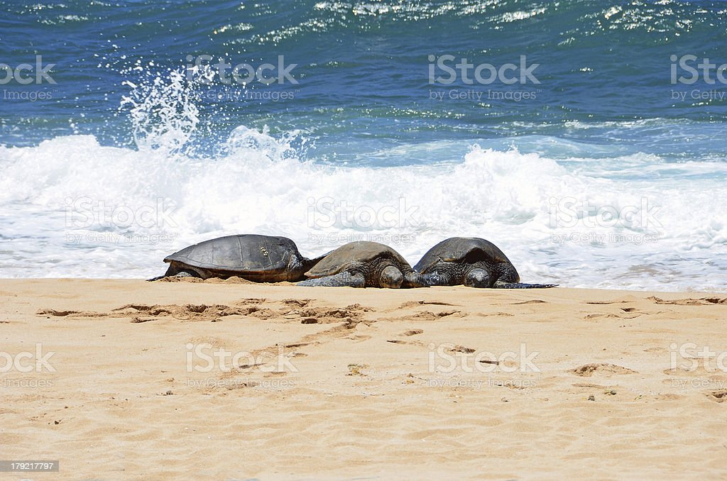 Three turtles in the sand just out of water royalty-free stock photo