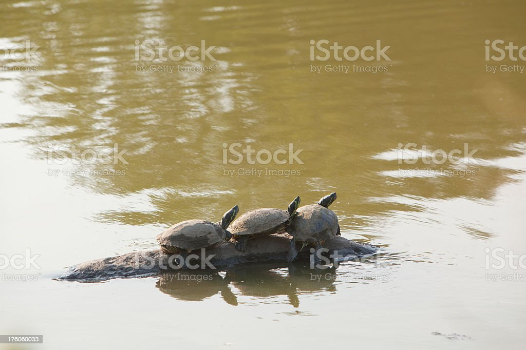 three turtles on the rock in pond stock photo