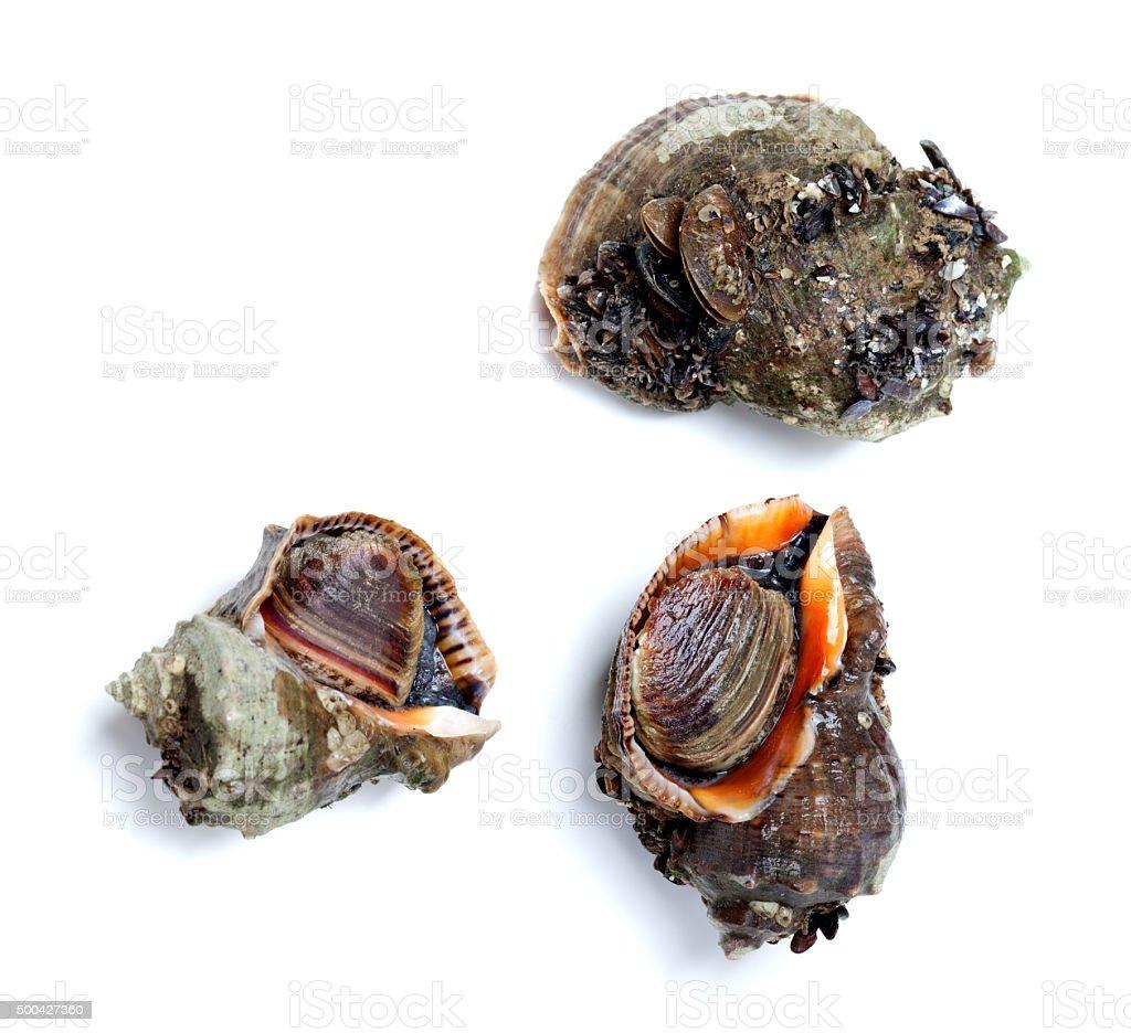 Three veined rapa whelk isolated on white background stock photo