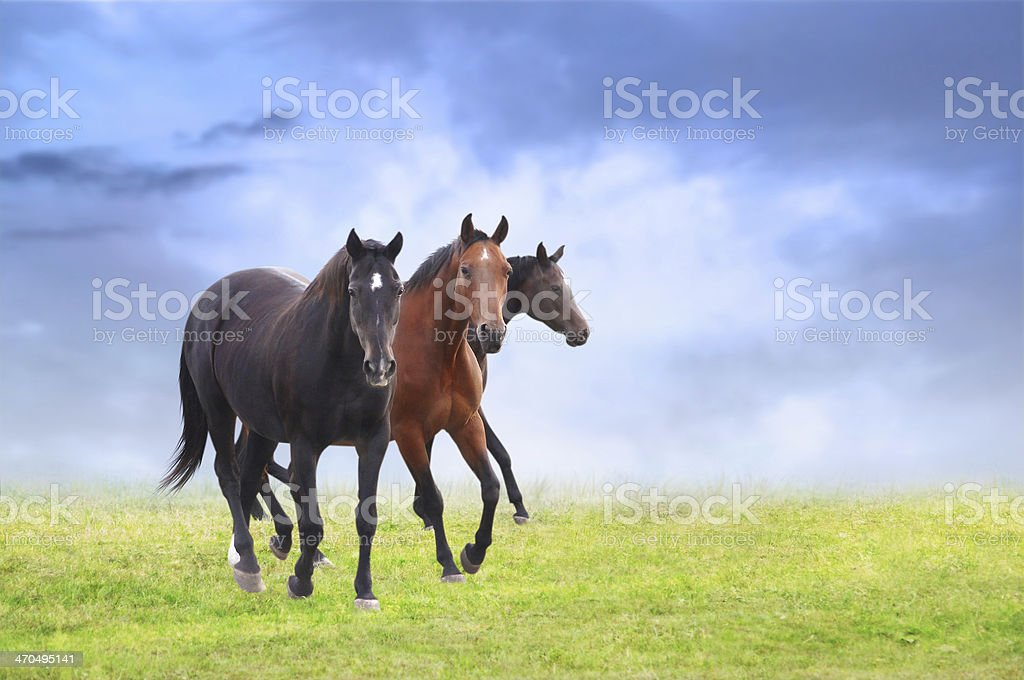 Three warm-blooded horses on field stock photo