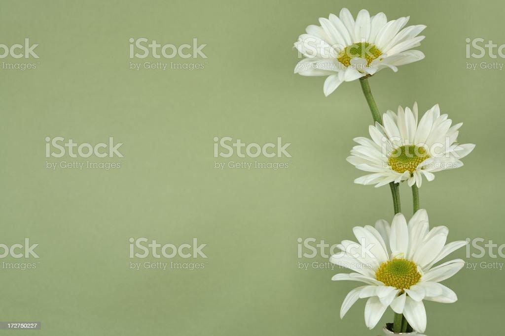 Three White Daisies on Green Horizontal royalty-free stock photo