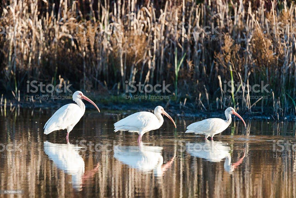 Three White Ibis in a row stock photo