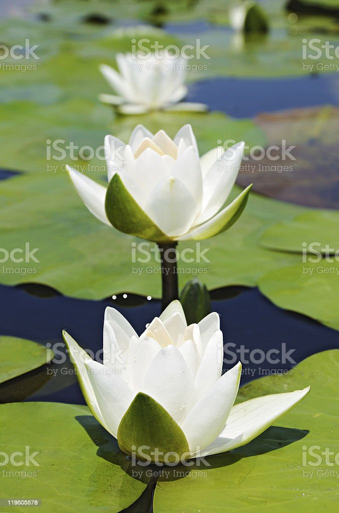 Three white lilies royalty-free stock photo