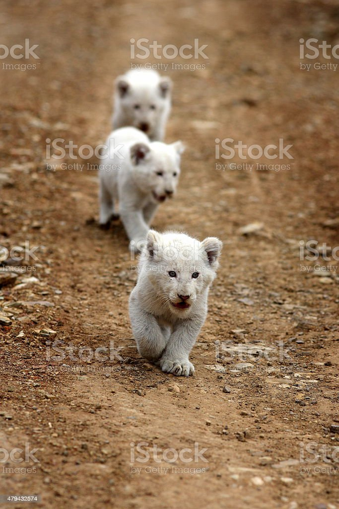 Three white lion cubs on the move stock photo