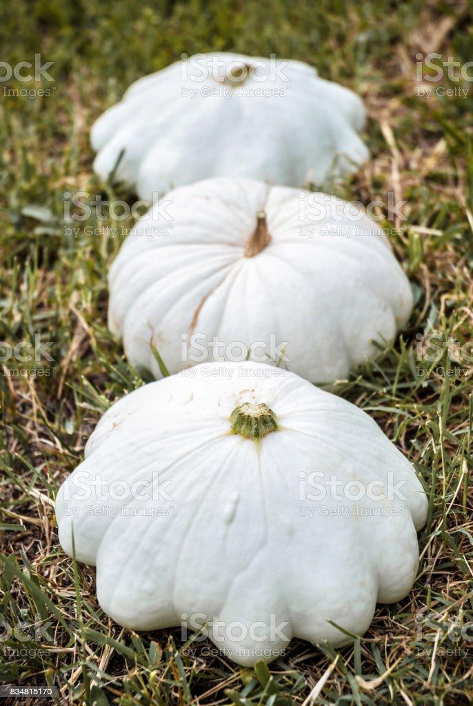 Three White Patisson Squash in a Row stock photo
