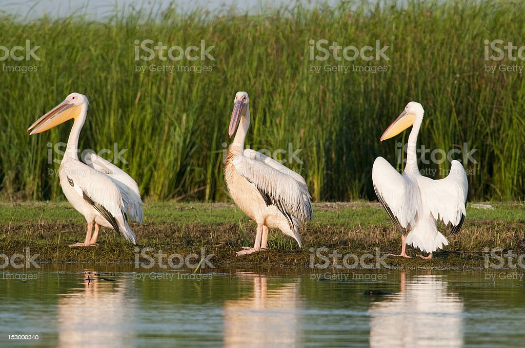 Three White Pelicans royalty-free stock photo
