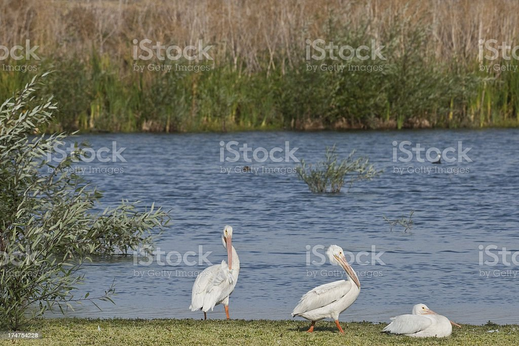 Three White Pelicans stock photo