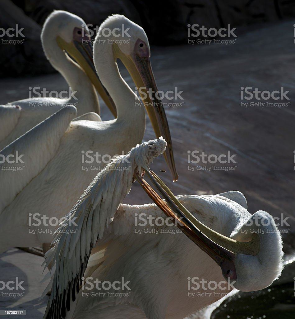 Three White Pelicans royalty-free stock photo