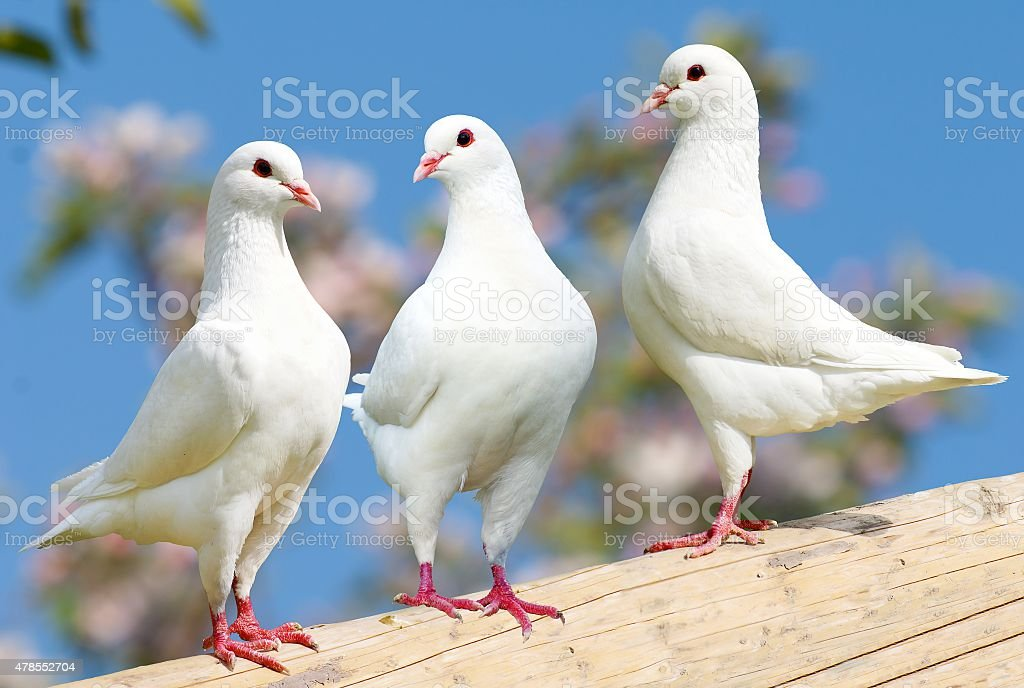 Three white pigeon on flowering background stock photo