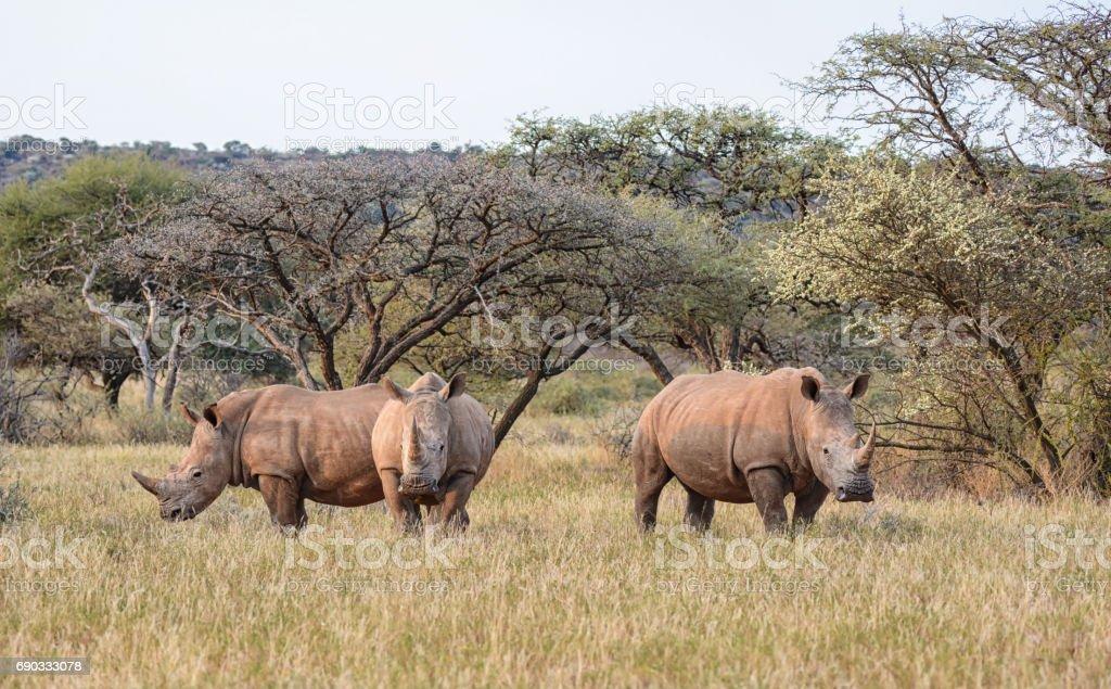 Three White Rhino stock photo