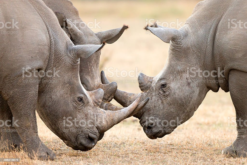 Three White Rhino's  locking horns stock photo