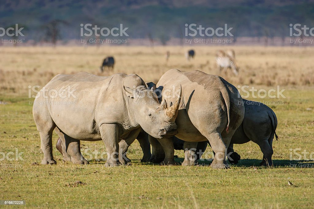 Three White Rhinos Showing Off Their Horns stock photo