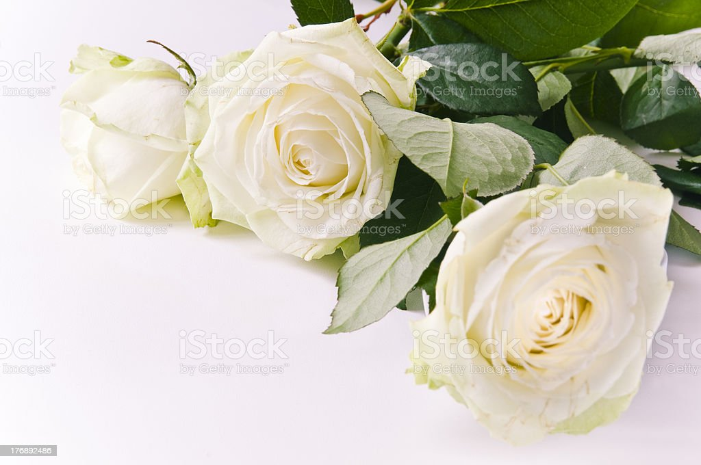 Three white roses royalty-free stock photo