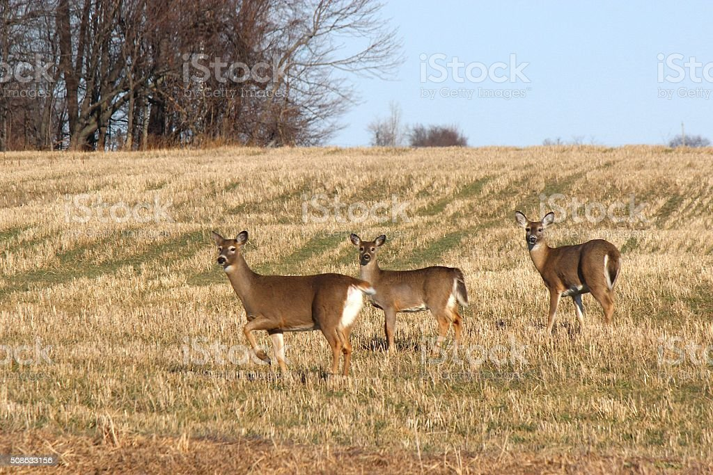 Three White Tailed Deer Standing in a Hay Field stock photo