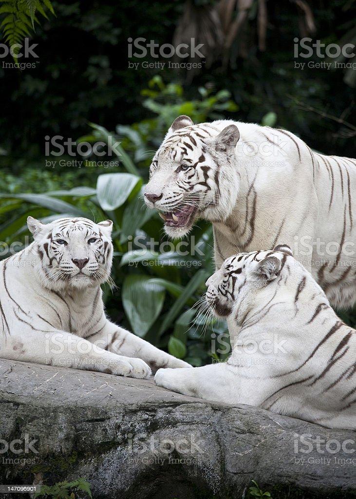 Three white tigars stock photo