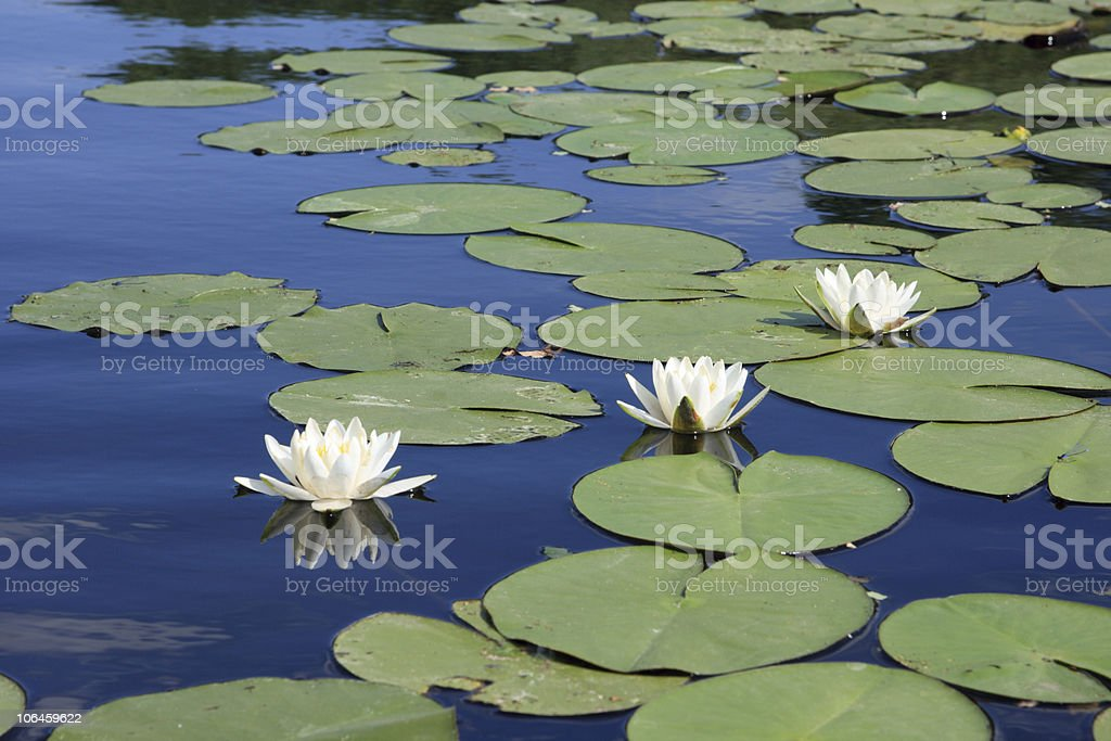 Three white water-lilies stock photo