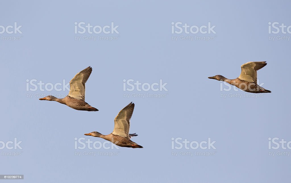 Three wild ducks flying stock photo