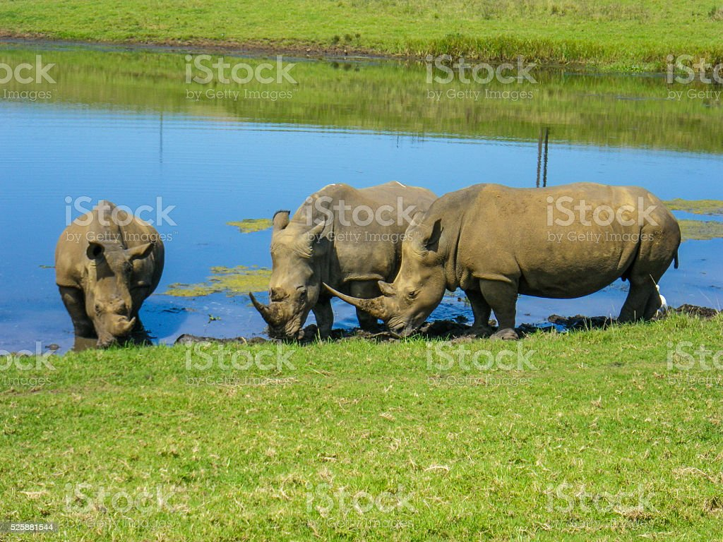 Three Wild Rhinoceros Drink At Watering Hole South Africa stock photo