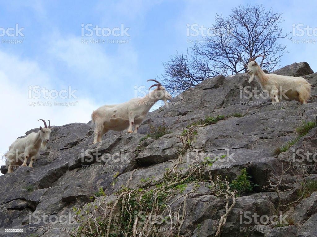 Three wild, white mountain goats climbing on steep rocks, cliff-face stock photo