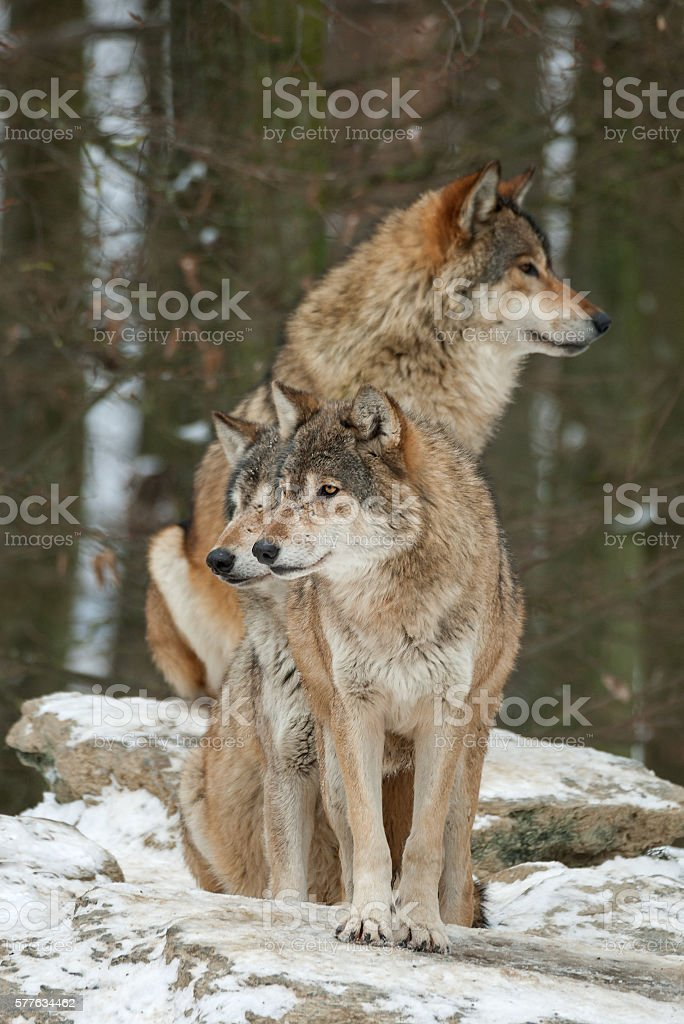 Three wolves in winter stock photo