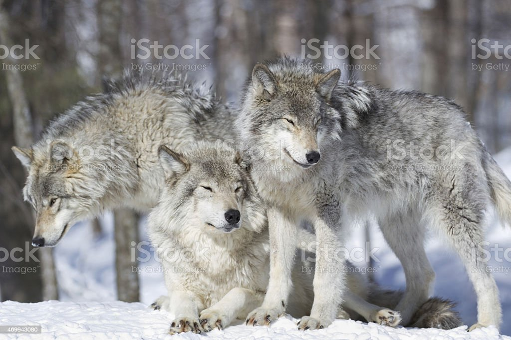 three wolves stock photo