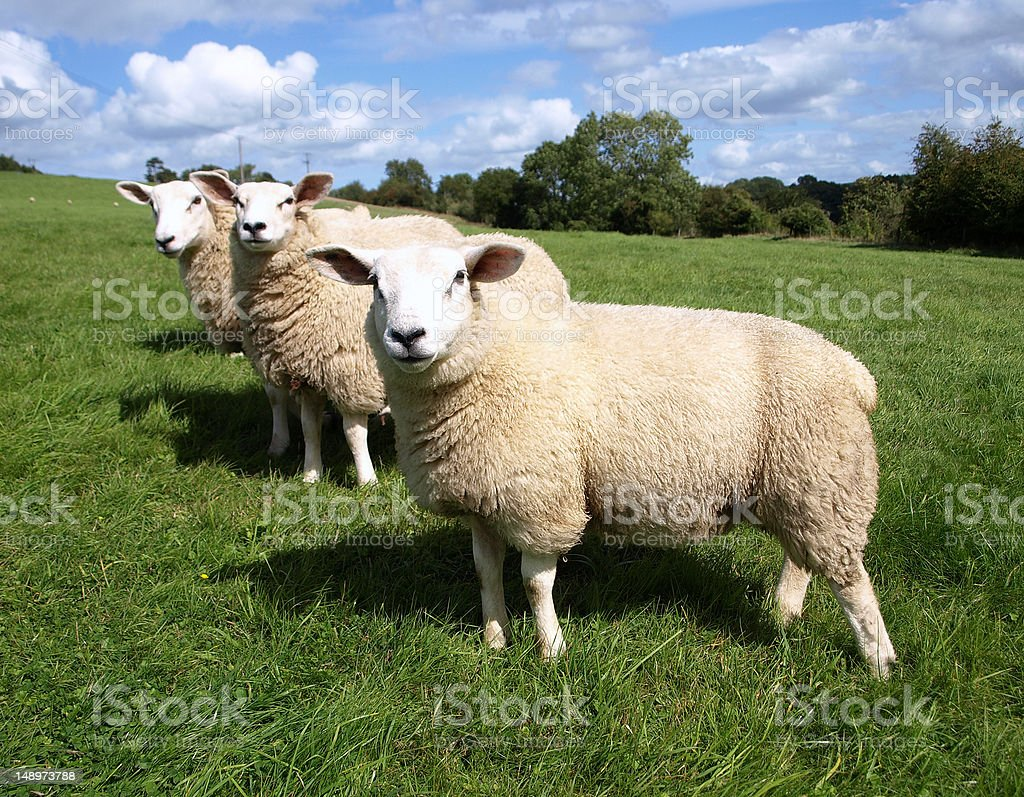 Three woolly sheep on green field stock photo