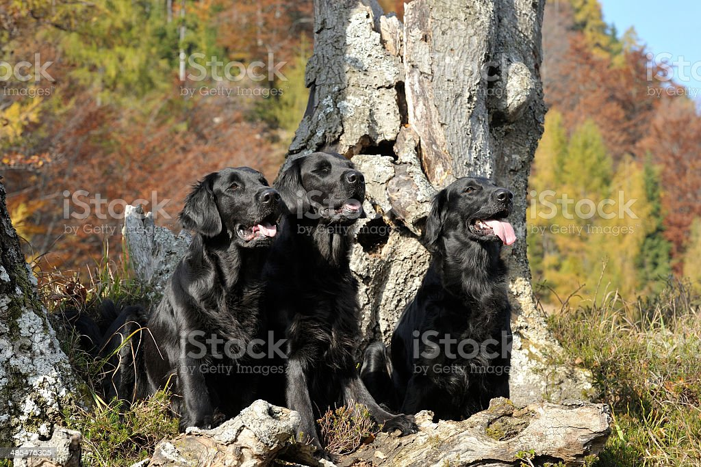 Three working dogs sitting in a tree stock photo