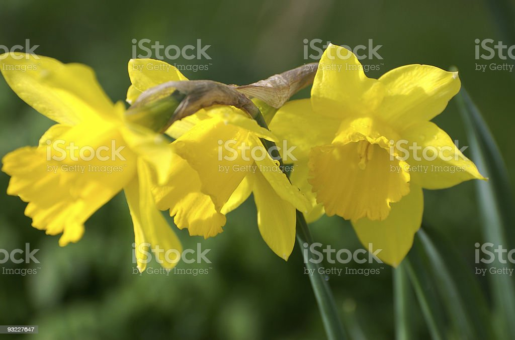 Three yellow daffodils, selective focus, spring and easter concept stock photo