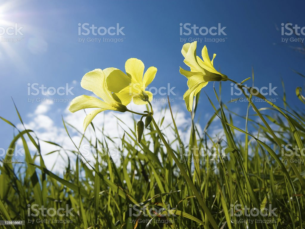 Three yellow flowers of clover in a lawn royalty-free stock photo