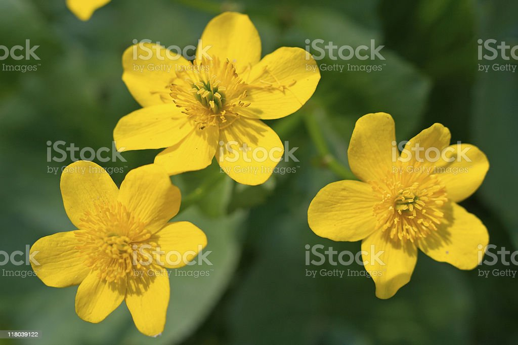 Three yellow flowers stock photo