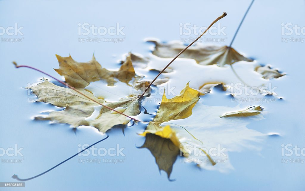three yellow maple leaf royalty-free stock photo