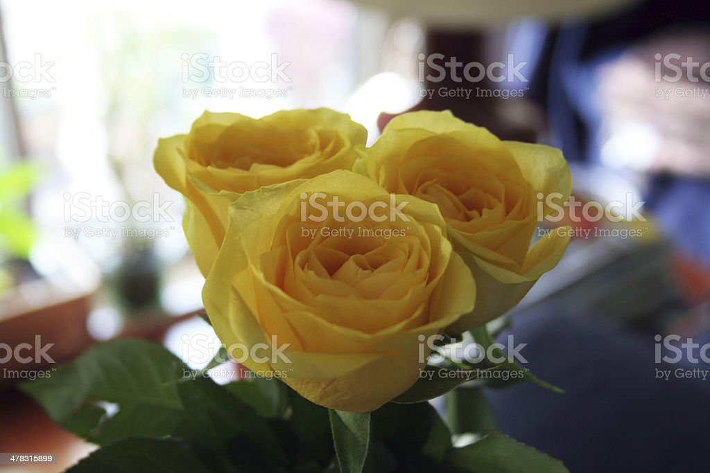 Three Yellow Roses royalty-free stock photo