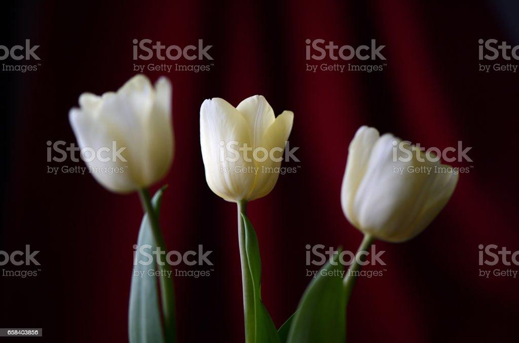 Three yellow tulips on a dark red background stock photo