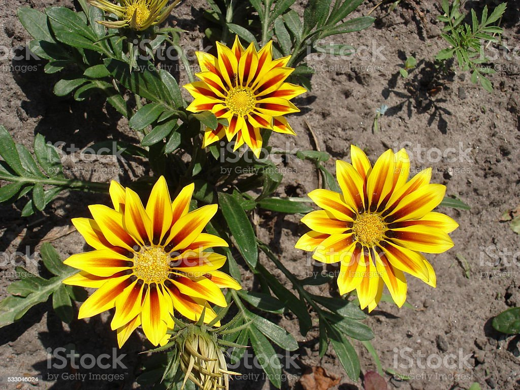 Three yellow with red stripes gazania flowers stock photo
