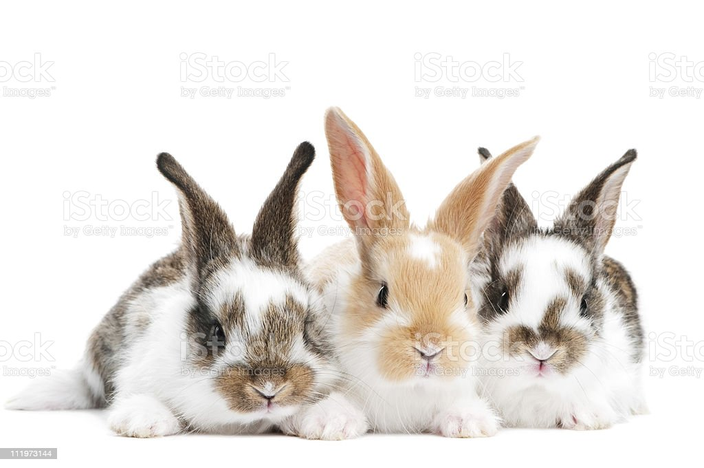 three young baby rabbit isolated stock photo