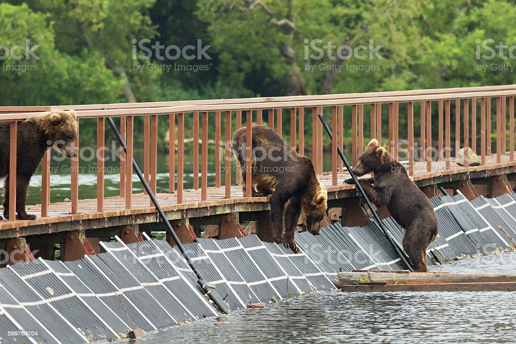 Three young brown bear on fence to account for fish stock photo