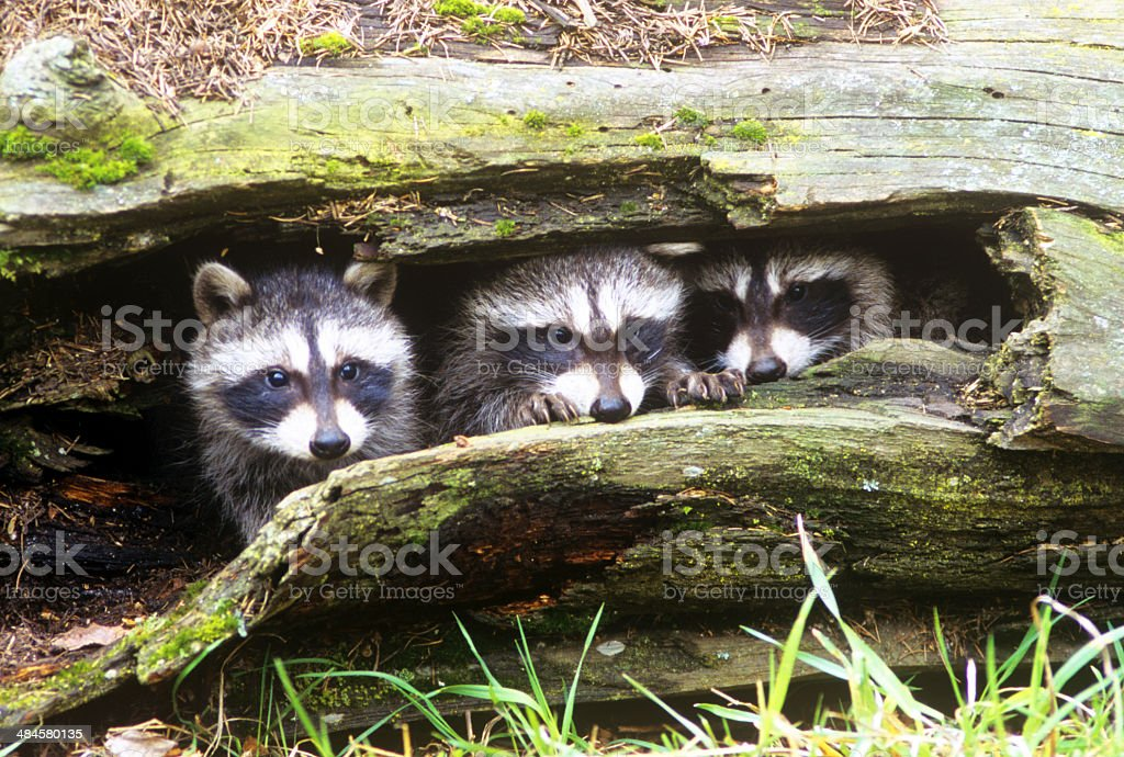 Three Young Raccoons (procyon lotor) in a Hollow Log stock photo