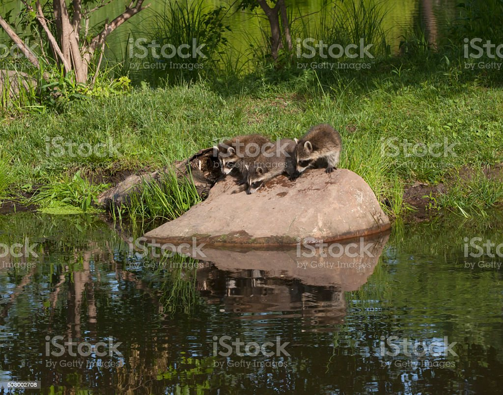 Three Young Raccoons on a Rock with Reflections in Lake stock photo