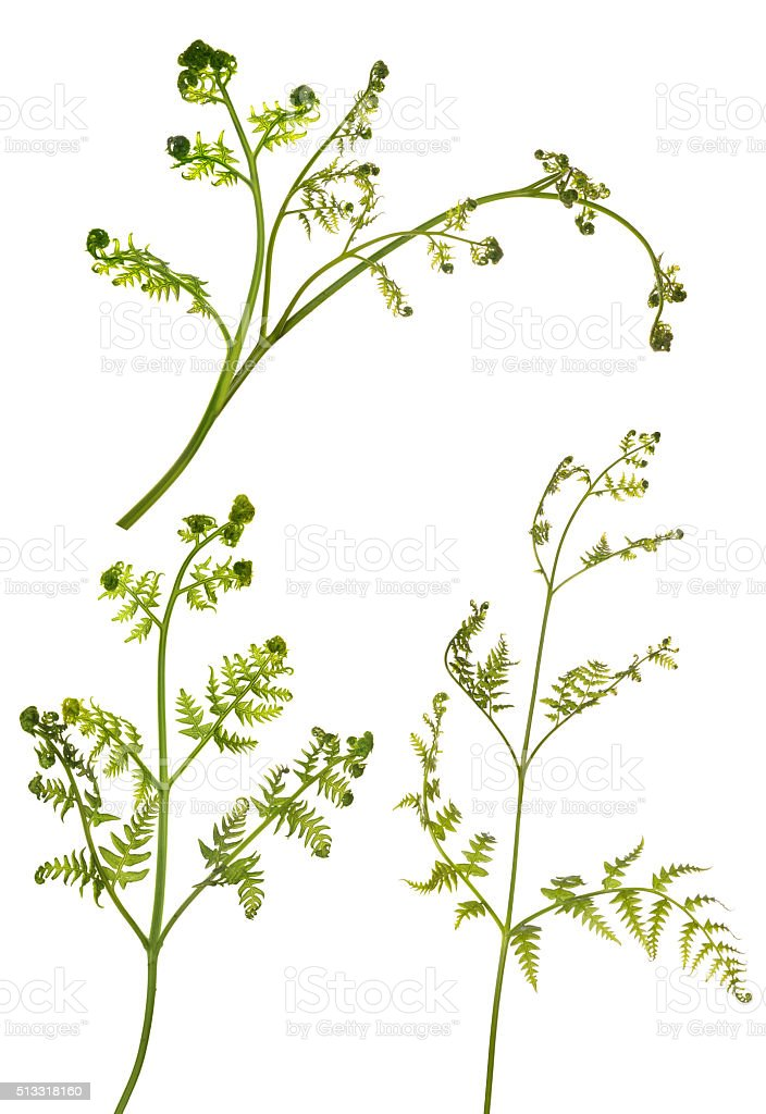 three young spring fern branches on white stock photo
