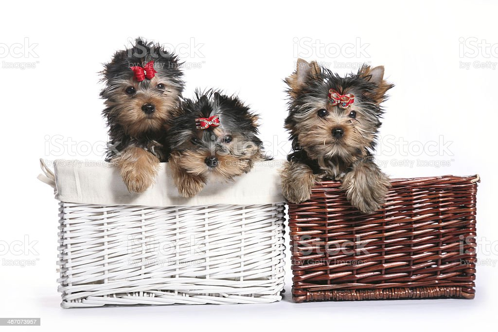 Three Young Yorkshire Terrier Puppies in basket looking aside royalty-free stock photo